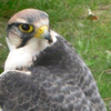 Birds of prey visiting William Blake House